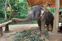 Éléphant alimentant Image libre de droits