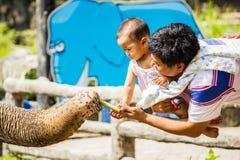 Éléphant alimentant avec la canne à sucre Images libres de droits