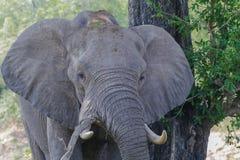 Éléphant appréciant la nuance d'un grand arbre en parc photographie stock libre de droits