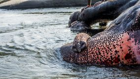 Éléphant appréciant le bain donné par son Mahout photographie stock