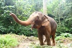 Éléphant apprivoisé dans la forêt profonde de jungle pour le tourisme photos libres de droits