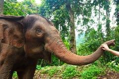 Éléphant apprivoisé dans la forêt profonde de jungle pour le tourisme photographie stock