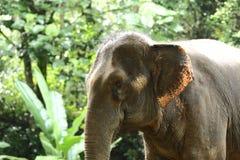 Éléphant apprivoisé dans la forêt profonde de jungle pour le tourisme images stock