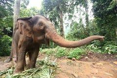 Éléphant apprivoisé dans la forêt profonde de jungle pour le tourisme image libre de droits