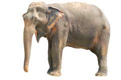 Éléphant asiatique photo libre de droits