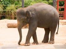 Éléphant asiatique Photos stock