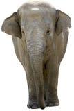 Éléphant asiatique Photographie stock