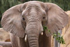 Éléphant asiatique images stock