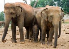 Éléphant asiatique Photos libres de droits