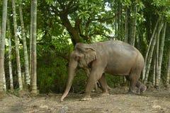 Éléphant asiatique Image libre de droits