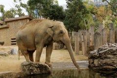 éléphant asiatique Images libres de droits