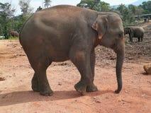 Éléphant asiatique dans l'habitat naturel Photos stock