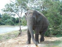 Éléphant asiatique du Sri Lanka images libres de droits
