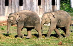 Éléphant asiatique en parc d'élevage d'éléphant du Népal Image stock