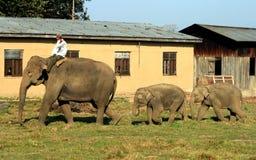 Éléphant asiatique en parc d'élevage d'éléphant du Népal Photos libres de droits