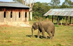 Éléphant asiatique en parc d'élevage d'éléphant du Népal Photographie stock libre de droits