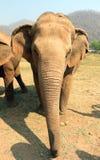 Éléphant asiatique en parc naturel d'éléphant de Chiang Mai de la Thaïlande Images stock