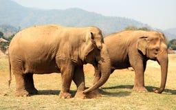 Éléphant asiatique en parc naturel d'éléphant de Chiang Mai de la Thaïlande Photo stock