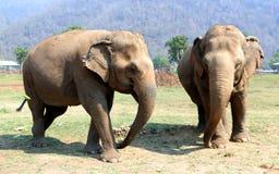Éléphant asiatique en parc naturel d'éléphant de Chiang Mai de la Thaïlande Photographie stock libre de droits