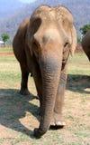 Éléphant asiatique en parc naturel d'éléphant de Chiang Mai de la Thaïlande Image libre de droits
