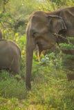 Éléphant asiatique femelle dans Sri Lanka Photos stock