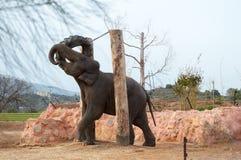 Éléphant asiatique jouant avec un pneu Images libres de droits