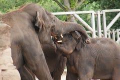 Éléphant asiatique - maximus d'Elephas Photo libre de droits