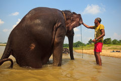 Éléphant asiatique mis en danger obtenant des oreilles lavées Photos stock