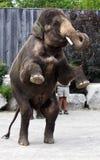 Éléphant asiatique restant sur ses deux jambes Images stock