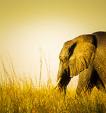 Éléphant au coucher du soleil dans la longue herbe Photo libre de droits