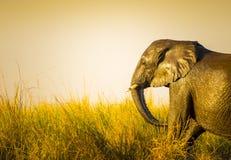 Éléphant au coucher du soleil dans la longue herbe Photos stock