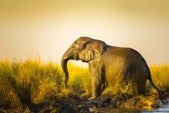 Éléphant au coucher du soleil dans la longue herbe Image libre de droits