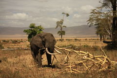 Éléphant au cratère de Ngorongoro, Tanzanie Photo stock