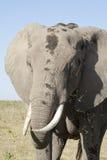 Éléphant au déjeuner Images libres de droits