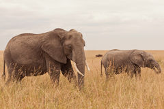 Éléphant au Kenya Image libre de droits