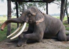 Éléphant au Népal Image stock