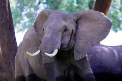 Éléphant au parc national de Mara de masai Photographie stock libre de droits