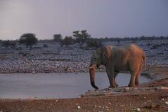 Éléphant au point d'eau d'Okaukuejo. Parc national d'Etosha, Namibie photos stock