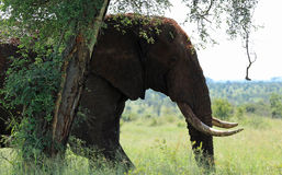 Éléphant au stationnement national Afrique du Sud de Kruger Image libre de droits