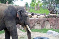 Éléphant aux jardins de Busch à Tampa la Floride Photos stock
