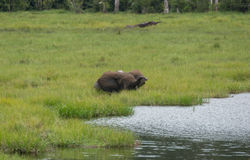 Éléphant aux oreilles tombantes se cachant dans l'herbe grande sur la banque de la rivière Sangha Congo Photos stock
