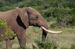 Éléphant avec de longues défenses Images libres de droits