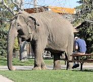 Éléphant avec l'entraîneur Photographie stock libre de droits