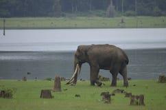 Éléphant avec la grande défense Photos stock