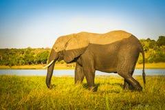 Éléphant avec la marque d'eau Photo stock