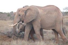 Éléphant avec le bébé repéré dans le sauvage photo libre de droits