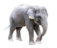 Éléphant avec le fond blanc avec le chemin photographie stock libre de droits
