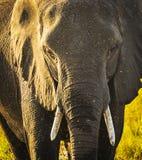 Éléphant avec le jet d'eau Images stock