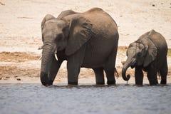 Éléphant avec le veau photo stock