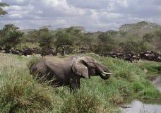 Éléphant buvant en stationnement national de Serengeti photographie stock libre de droits